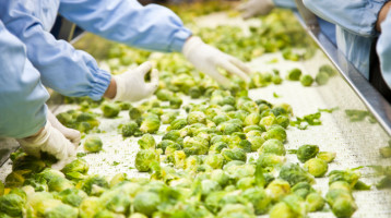 Harvested Brussels Sprouts on conveyor Belt